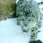 Чабаны получают вознаграждение за охрану снежного барса