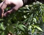 1 кг марихуаны изъяли у жителя Турочака