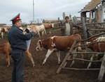 Полицейские и казаки будут проводить рейды по предотвращению краж скота