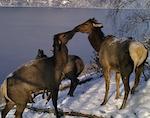 В заповеднике сфотографировали целующихся маралов