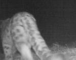 Самку ирбиса с тремя котятами сняли на видео в Горном Алтае