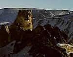 Уникальные видеокадры снежных барсов обнародовали алтайские экологи