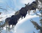 В Катунском заповеднике удалось снять уникальные кадры с лосями (видео)