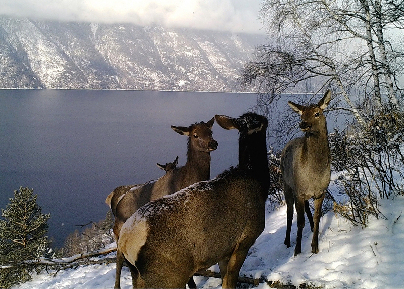 Маралы в Алтайском заповеднике