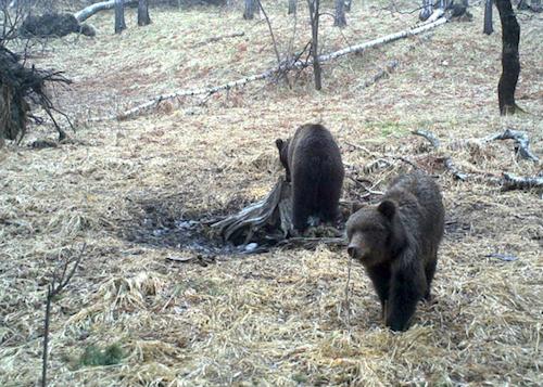 Фотофакт: В Алтайском заповеднике проснулись медведи
