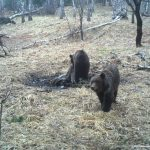 В Алтайском заповеднике проснулись медведи