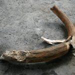 В Майме нашли бивень мамонта