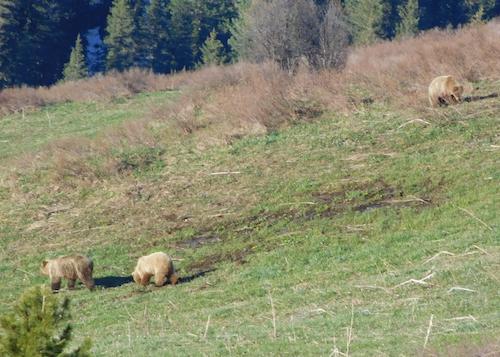 В Катунском заповеднике пересчитали медведей