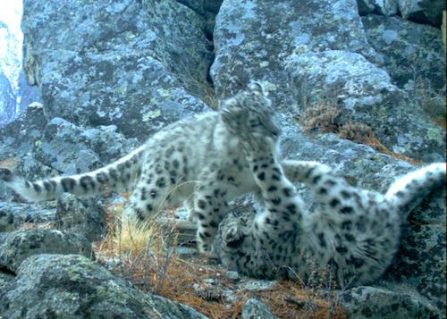 Самка ирбиса с двумя котятами погибла в браконьерских петлях