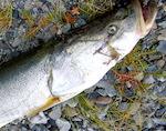 Осман мешает развивать рыбоводство на Алтае