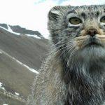 На Алтае получены новые снимки манула и снежных барсов