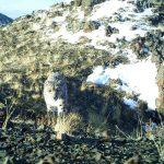 Новые кадры со снежными барсами