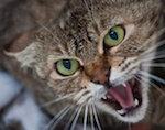 В Горно-Алтайске выявлен случай бешенства у кошки