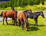 Тувинцы угнали табун лошадей в Кош-Агачском районе