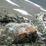 На Алтае получен снимок зевающего снежного барса (фото)