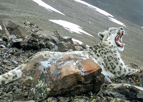 На Алтае получен снимок зевающего снежного барса