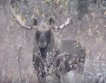 Видео: Лось в Катунском заповеднике
