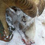На Алтае задержали браконьеров, застреливших архара