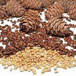 Потребление кедровых орехов — секрет здоровья