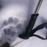 След снежного барса