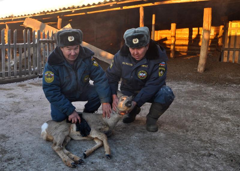 Почти 600 волков истребили на Алтае в прошлом году