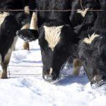 Зимовка скота проходит в сложных условиях