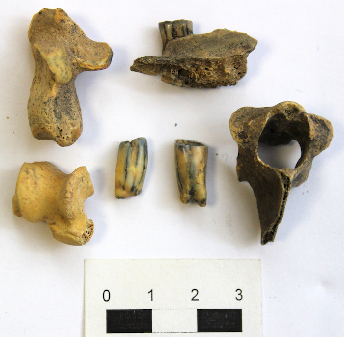 40 тысяч лет назад в Горном Алтае обитали дикобразы