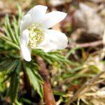 В Горном Алтае зацвели первые цветы