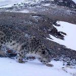 Снежные барсы нашли себе в Горном Алтае новые места обитания