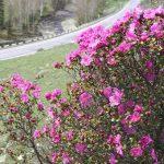 Большой праздник пройдет в Онгудайском районе в честь цветения маральника