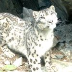 На Алтае восстанавливается численность снежного барса