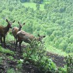 Весенний учет марала и медведя завершился в Алтайском заповеднике