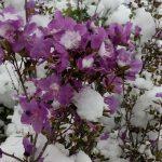 Люблю зиму в начале мая! Снег засыпал Горный Алтай (фото)