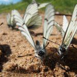 Бабочки-боярышницы атаковали Горный Алтай