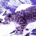 Новые места обитания ирбиса обнаружены в Горном Алтае