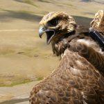 Соколята в Сайлюгеме: экологи снабдили птиц трекерами и объявили конкурс имен