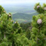 Площадь кедровых лесов в Горном Алтае превышает 1 млн гектаров