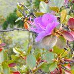 Ученые назвали причину повторного цветения маральника на Алтае
