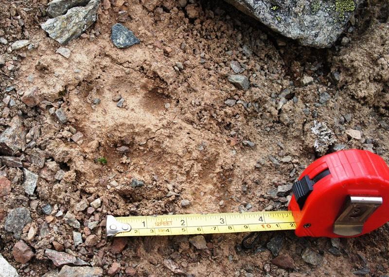 Ученые выяснили, зачем снежным барсам Шапшальский хребет