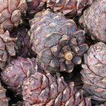 Перенесен срок заготовки ореха в Чое и Турочаке