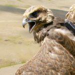 Соколиная романтика: молодой сокол-балобан прилетел из Монголии на Алтай за невестой