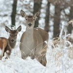 Сроки охоты на косулю в этом году сокращены