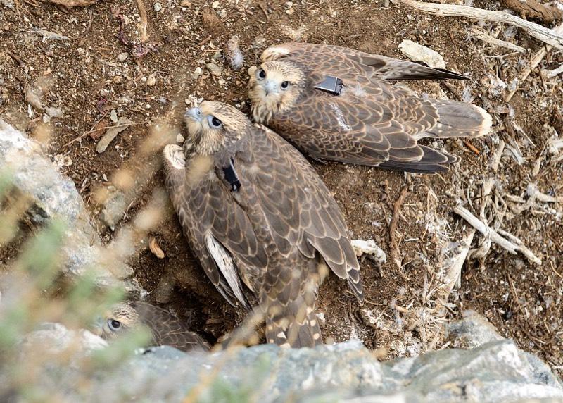 Восстановление популяции краснокнижных соколов продолжат на Алтае