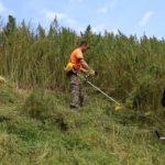 В Горном Алтае коноплю убирают садовыми триммерами