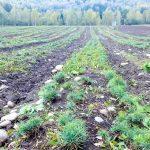 В Республике Алтай высадили пять гектаров новых кедровых лесов