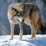 «Серый получил за разбой». Снежный барс наказал волка, который пытался отнять у него добычу