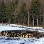 Беспредел в сосновом лесу: бесконтрольная вырубка и откровенная уголовщина