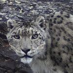 Получены первые снимки снежного барса с плато Укок