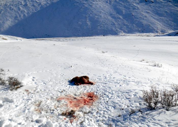 Браконьеров, застреливших самку аргали с ягнятами, приговорили к обязательным работам