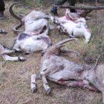 ОНФ просит Генпрокуратуру взять на контроль расследование убийства восьми козерогов